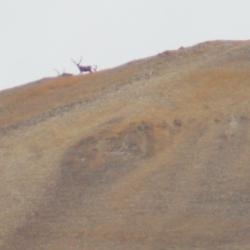 Curious caribou peering at us from the ridge