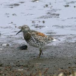 Great Knot, an Asian shorebird species photographed on St. Paul