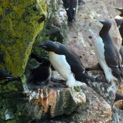 Watch your step!  This murre chick will remain in the nest for at least another week or so.