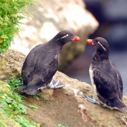 I'll miss the sound of the Parakeet Auklet's song