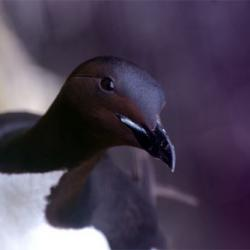 It's time for murres!