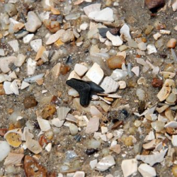 Fossil Tiger shark tooth on the beach