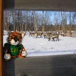 Bengal meets Reindeer