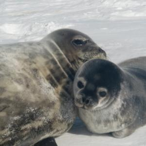 A Weddell seal and pup out on the sea ice near McMurdo Station, Antarctica. Photo by Alex Eilers.
