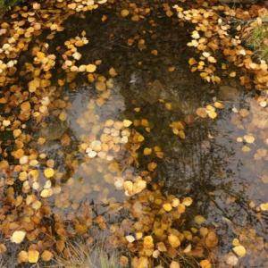Yellow birch leaves in a pool of water