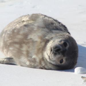 A fluffy Weddell seal pup lays on the sea ice